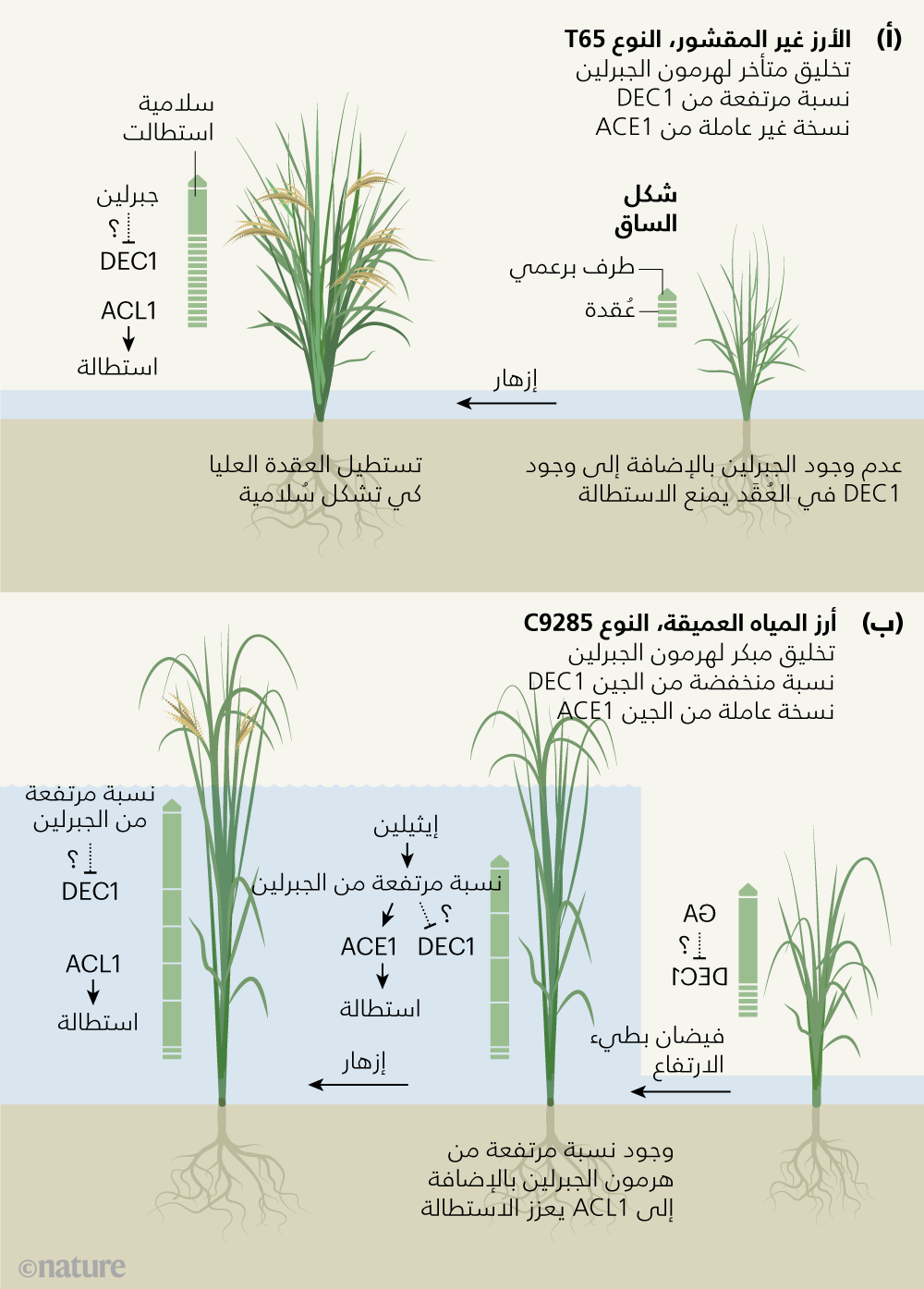 المحركات الجينية لاستطالة الأرز طويل الساق News Views